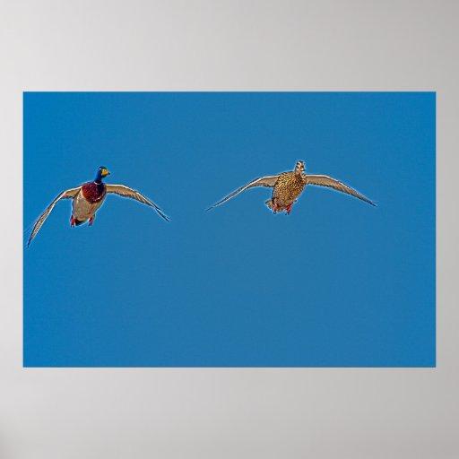 Pair of Flying Ducks Poster