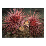 Pair of Giant Red Sea Urchins - Business Card