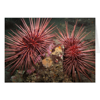 Pair of Giant Red Sea Urchins Card