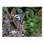 Pair of Golden-winged Warblers with nest Post Card