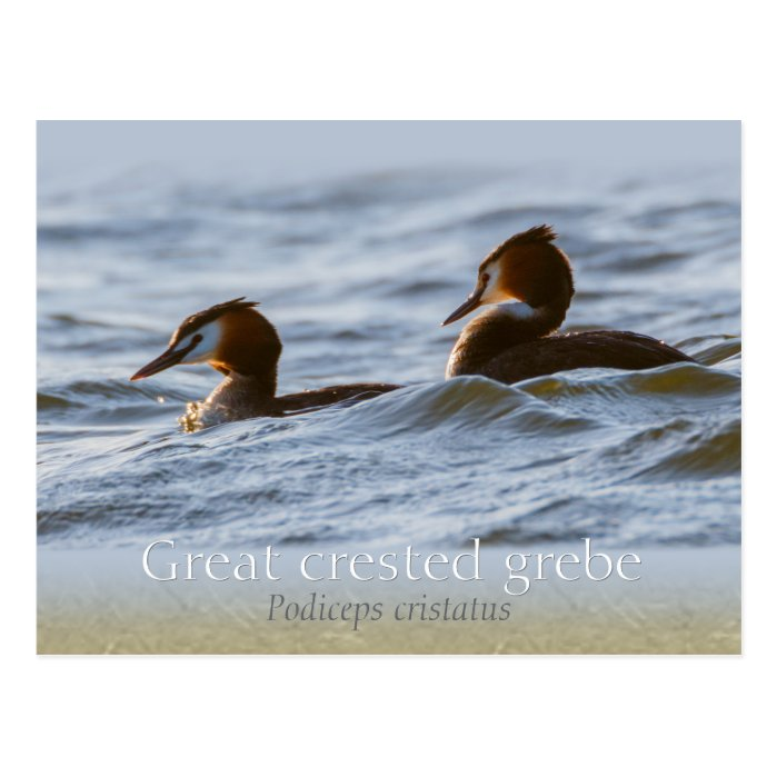 Pair of great crested grebes CC0757