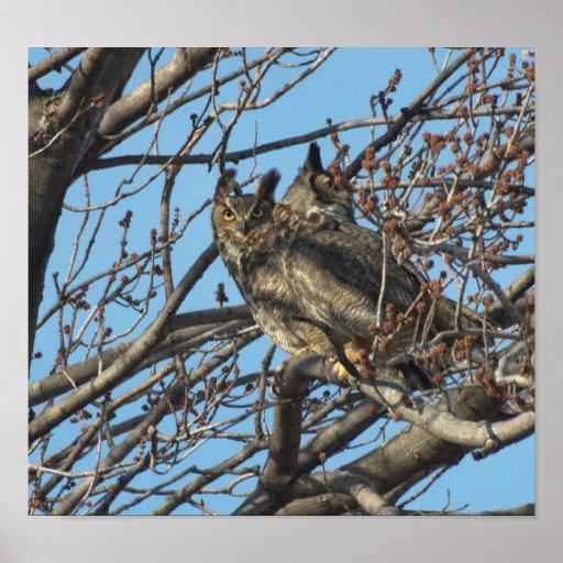 PAIR OF GREAT HORNED OWLS 2 (Bubo virginianus) Print