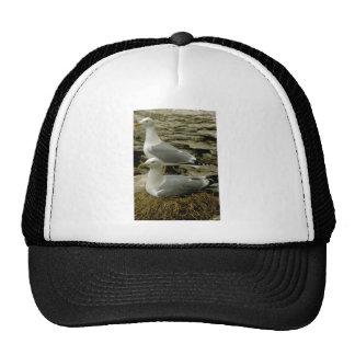 Pair of Herring Gulls with nest Hat
