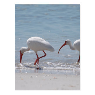 Pair of Ibis Postcard