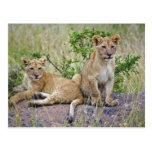 Pair of Lion cubs on rock, Panthera leo, Masai Postcards