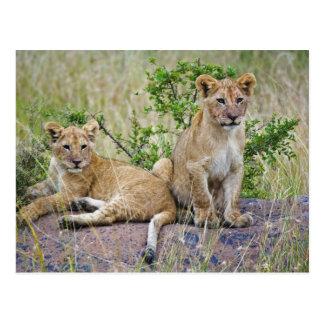 Pair of Lion cubs on rock, Panthera leo, Masai Postcard