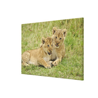 Pair of lion cubs playing, Masai Mara Game Stretched Canvas Print