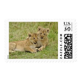 Pair of lion cubs playing, Masai Mara Game Postage