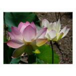 Pair of Lotus Flowers I Poster