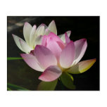 Pair of Lotus Flowers II Acrylic Print