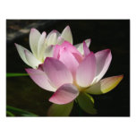 Pair of Lotus Flowers II Photo Print