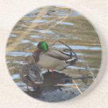 Pair of Mallard Ducks on Shore's Edge Drink Coaster