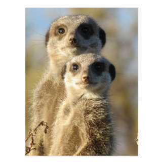 Pair of Meerkats Postcard