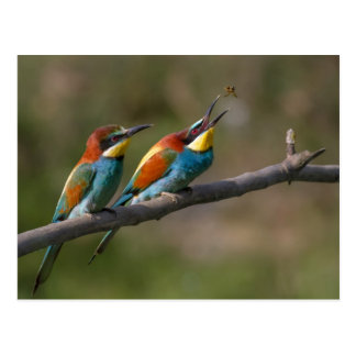 Pair of Merops apiaster feeding Postcard