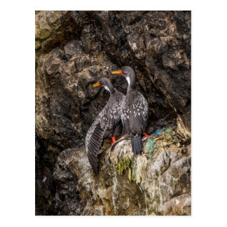 Pair of Network Cormorant with chick Postcard