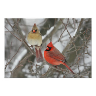 Pair Of Northern Cardinals Poster