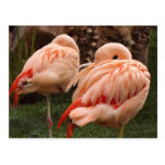 Pair of Pink Flamingos Post Card