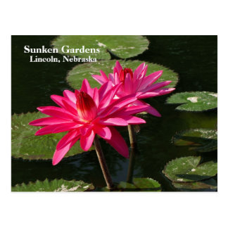 Pair of Pink Water Lilies postcard #200Nw  0200