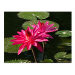 Pair of Pink Water Lilies postcard #4Nw  0440