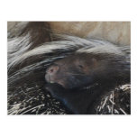 Pair of Porcupines Postcard