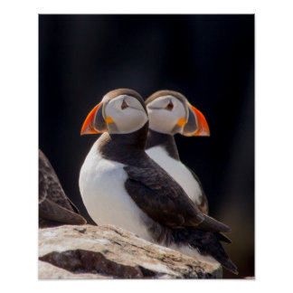 Pair of Puffins Poster