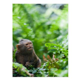 Pair of pygmy monkeys postcard