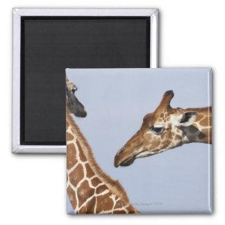 Pair of Reticulated Giraffes (Giraffa) Magnet
