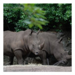 Pair of Rhinos Poster