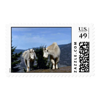 Pair of rocky mountain goats (Nanny on left, male Postage