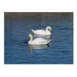 Pair of Swans Postcards