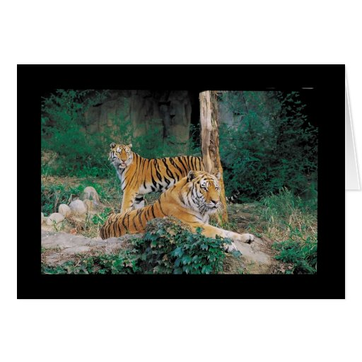 Pair of Tigers Card