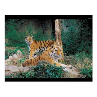 Pair of Tigers Postcard