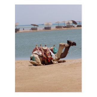 Pair Of Traditional Camels Sitting At The Beach. Postcard