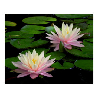 Pair of Water Lilies Poster