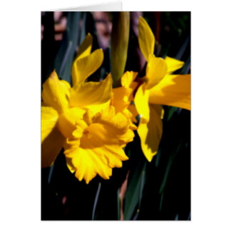 Pair of Yellow Daffodils