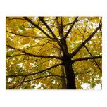 Pair of Yellow Maple Trees Autumn Nature Postcard