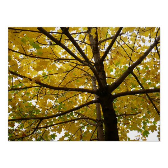 Pair of Yellow Maple Trees Autumn Nature Poster