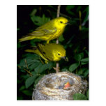 Pair of Yellow Warblers feeding young Post Cards