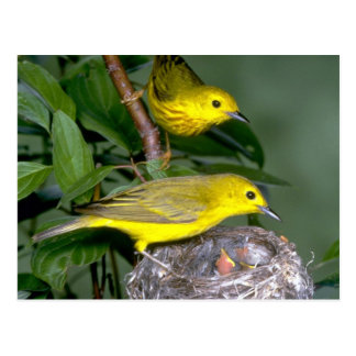 Pair of Yellow Warblers with young Postcard