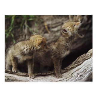 Pair Of Young Coyote Pups Howling Postcard