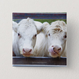 Pair of young white cows at feeding trailor button