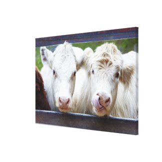 Pair of young white cows at feeding trailor canvas print