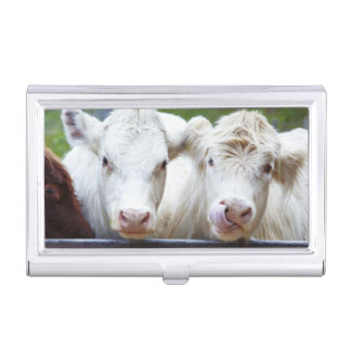 Pair of young white cows at feeding trailor case for business cards