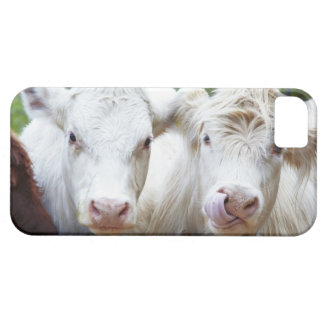 Pair of young white cows at feeding trailor iPhone SE/5/5s case