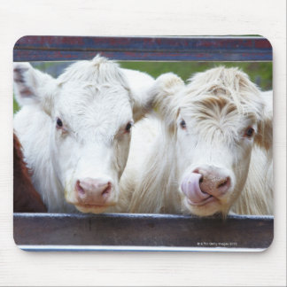 Pair of young white cows at feeding trailor mouse pad