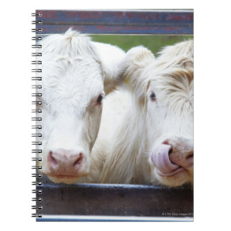 Pair of young white cows at feeding trailor note books