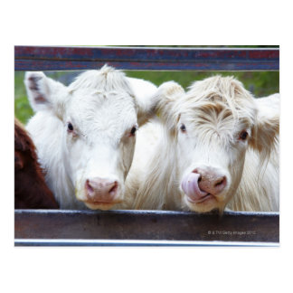 Pair of young white cows at feeding trailor postcard