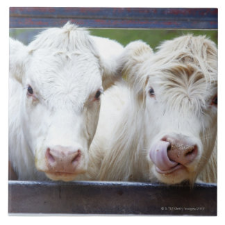 Pair of young white cows at feeding trailor tile