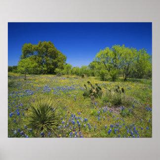 País de la colina de Tejas Tejas bladderpod bajo Poster