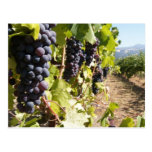 País vinícola de California Postales
